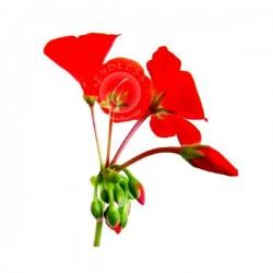 天竺葵 Geranium 10ml